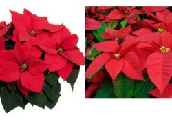 GO! NOW ! GO! Poinsettias for ONLY $0.99 CENTS! TODAY ONLY!