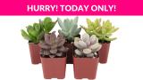 Shop Succulents Indoor Succulent Plants